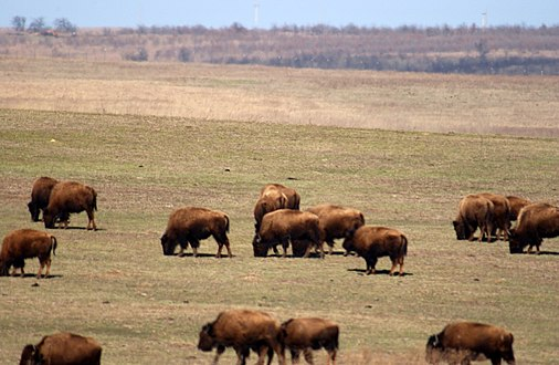 A herd of American bison grazing at Tall Grass Prairie Preserve in Osage County, Oklahoma Bison - Tall Grass Prairie Preserve - panoramio - Photog (2).jpg