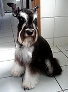 Black-and-silver miniature schnauzer.jpg
