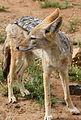 Black-backed jackal, Canis mesomelas, at Pilanesberg National Park, South Afric (17314005545).jpg