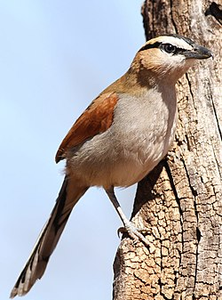 Black-crowned Tchagra, Tchagra senegala at Rietvlei Nature Reserve, Gauteng, South Africa (14898466818).jpg