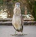 Black-crowned night heron (61438).jpg