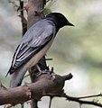 Black-headed Cuckooshrike (Coracina melanoptera) at Sindhrot near Vadodara, Gujrat Pix 108.jpg