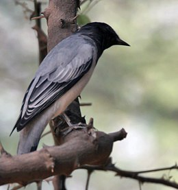 Black-headed Cuckooshrike (Coracina melanoptera) at Sindhrot near Vadodara, Gujrat Pix 108.jpg