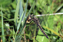 Black-tailed skimmer dragonfly (Orthetrum cancellatum) mature female.jpg
