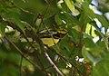 Black-throated Green Warbler (44170249094).jpg