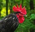Black Australorp rooster.jpg