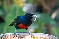Black and Crimson Oriole ( Oriolus cruentus).jpg