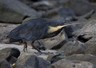 Black bittern species of bird