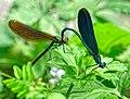 Blauflügel Prachtlibellen bei der Paarung. 02.jpg