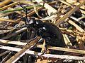 Blister Beetle, Genus Meloe - Flickr - GregTheBusker (1).jpg