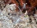 Blotched sandgoby (Fusigobius inframaculatus) (49605559702).jpg
