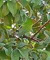 Blue-crowned Parakeet (Aratinga acuticaudata) (29020228810).jpg