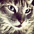 Blue-eyed cat 2.jpg