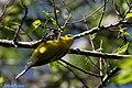 Blue-winged Warbler (male) Sabine Woods TX 2018-04-22 14-35-41-2 (27122886147).jpg