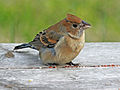 Blue Grosbeak female RWD1.jpg
