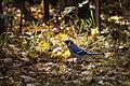 Blue Jay (22205182006).jpg