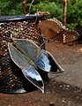 Blue Oakleaf and Great Eggfly by Dr. Raju Kasambe DSCN7988 (1).jpg