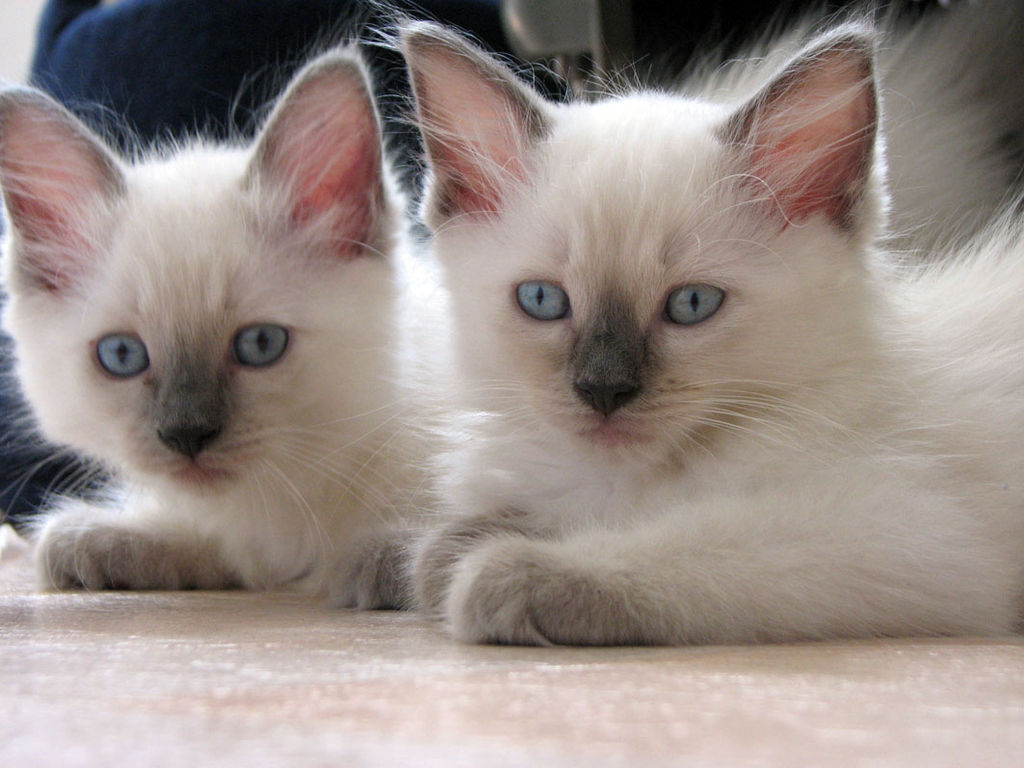 File:Blue point ragdolls.jpg - Wikimedia Commons