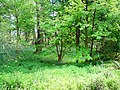 Bluebell Wood - geograph.org.uk - 1280642.jpg