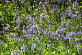 Bluebells in Draynes Wood (4034).jpg