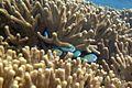 Bluegreen chromis Chromis viridis (7504785606).jpg