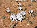 Blumen Koichab 06.JPG