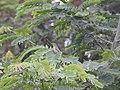 Blyth's reed warbler 01.jpg