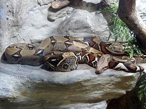 Boa constrictor - Image: Boa constrictor, Vaňkovka, Brno (2)