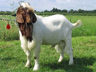The Boer goat - in this case a buck - is a widely kept meat breed. Boerbok.jpg