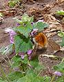 Bombus hypnorum at Lamium purpureum, boomhommel op paarse dovenetel.jpg