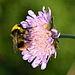Bombus pratorum (male) - Knautia arvensis - Keila.jpg
