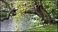 Boom - Trompetboom - Catalpa bignonioides-01.jpg
