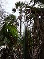 Borassus aethiopum 0016.jpg