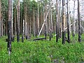 Boreal pine forest 6 years after fire, 2012-07.jpg