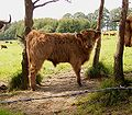Bos taurus - Highland cattle - calf.jpg
