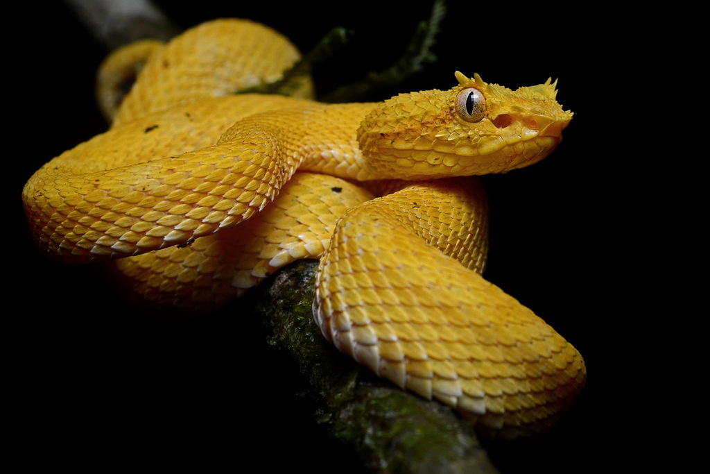 Bothriechis schlegelii (La Selva Biological Station)