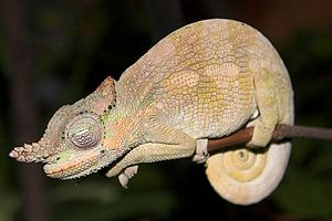 Sleep in non-human animals - Sleeping African dwarf Fischer's chameleon