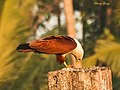 Brahminy Kite Eating (6776691926).jpg