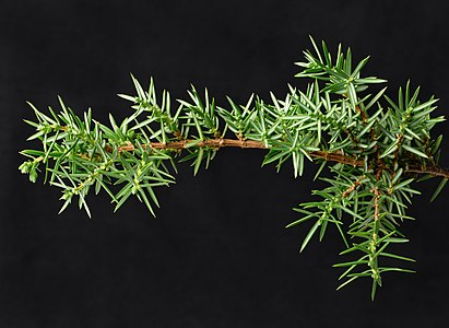Branched juniper twig with shots.jpg