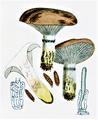 Bresadola - Gomphidius glutinosus.png