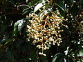Broad-leaf privet fruit (3392199506).jpg