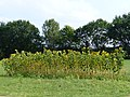Brockum Sonnenblumen.jpg