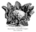 Brocoli blanc extra-hâtif d'Angers Vilmorin-Andrieux 1904.png