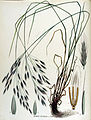 Bromus arvensis — Flora Batava — Volume v15.jpg