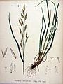 Bromus unioloides — Flora Batava — Volume v20.jpg