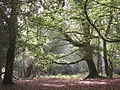 Brook Wood, New Forest - geograph.org.uk - 62998.jpg