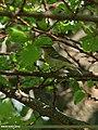 Brooks's Leaf Warbler (Phylloscopus subviridis) (23270672312).jpg