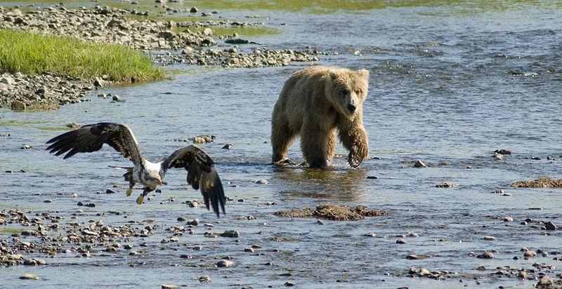 File:Brown Bear in river 1.jpg