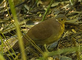 Brown Mesite - Ranomafana - Madagascar MG 1281 (cropped).jpg