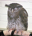 Bubo sumatranus, the Malay Eagle Owl (12645274104).jpg
